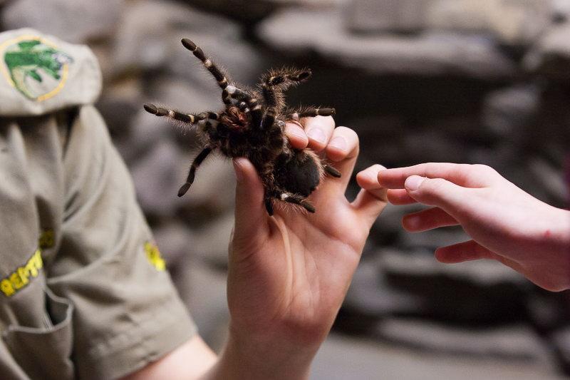 Reptilia reptile zoo keeper holding a tarantula