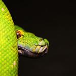 reptilia python feedings schedule