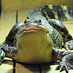 reptilia american alligators feedings schedule