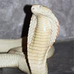 reptilia cobras feedings schedule