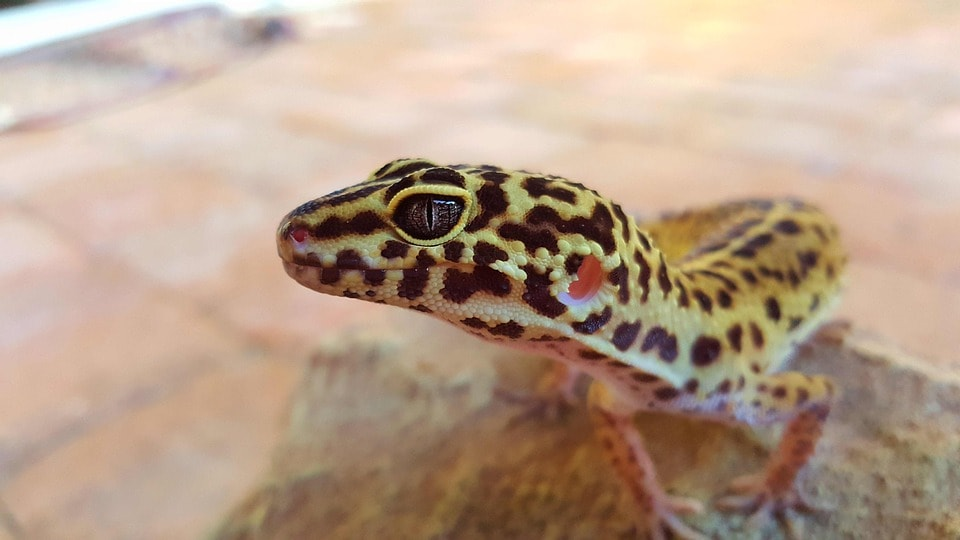 reptilia gecko habitarium school program