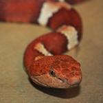 reptilia vipers feedings schedule