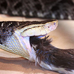 reptilia white lip viper feedings schedule