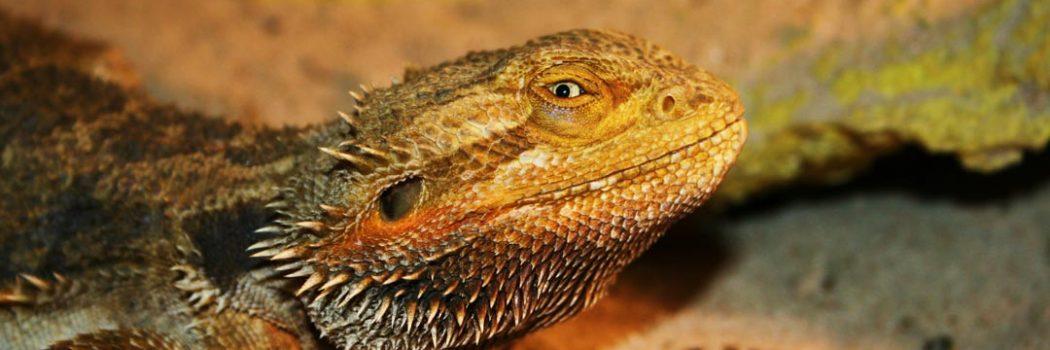 bearded dragon for reptile adoption program