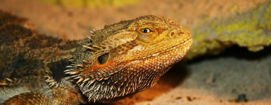 bearded dragon for reptile adoption program