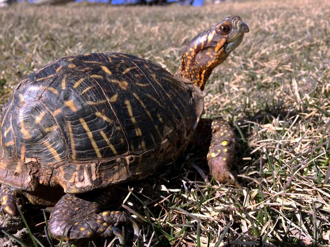 Reptilia's Biscuit the Box Turtle