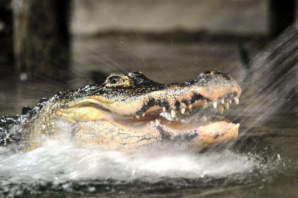 Reptilia's American Alligators