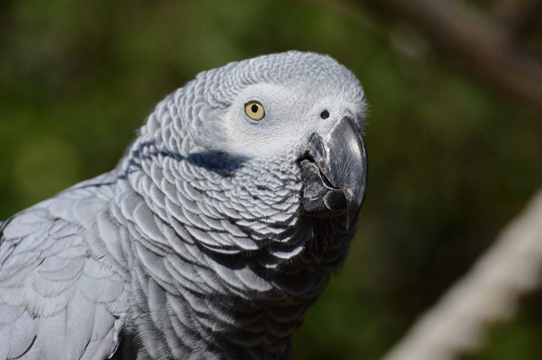 Reptilia's Kiva the Grey African Parrot