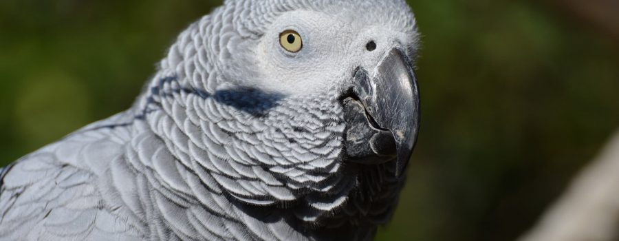 Reptilia's Kiva the Grey African Parrot