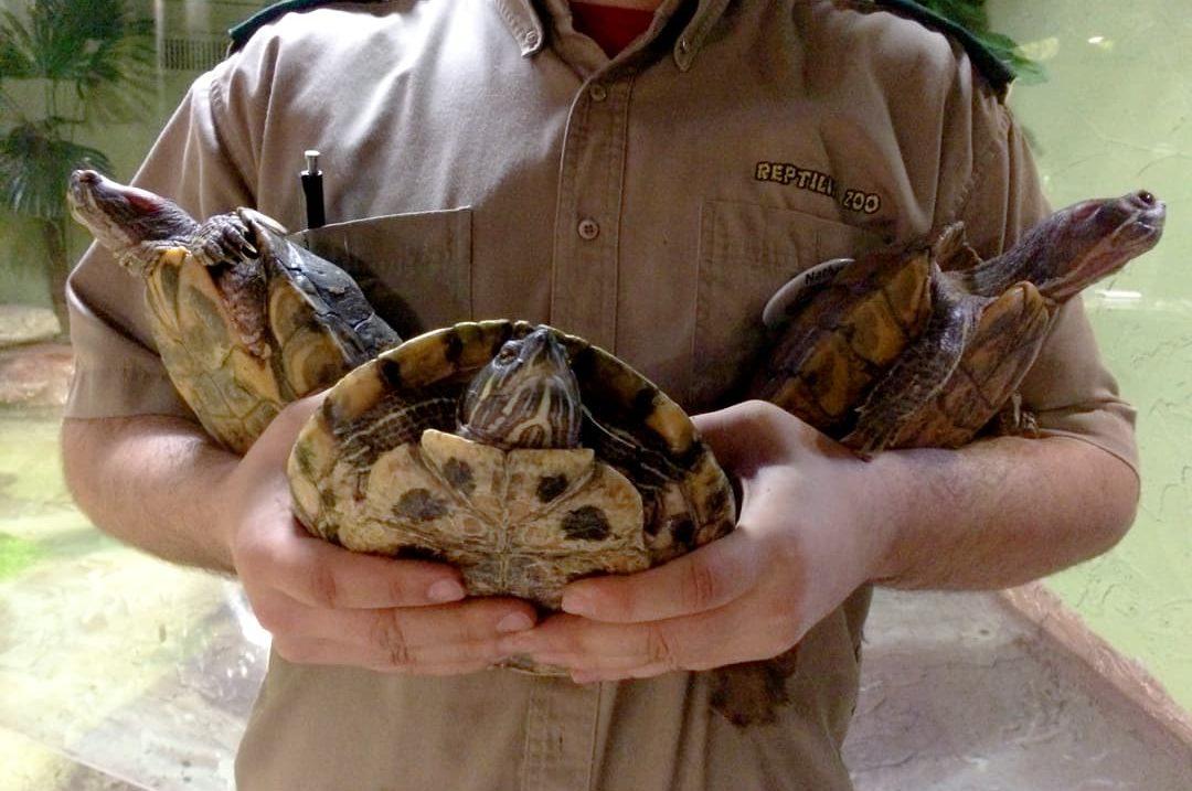 Reptilia's Red Ear Slider Turtles