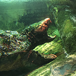 Reptilia Feeding Schedule Alligator Snapping Turtle