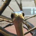 reptilia feeding schedule boomslang snake