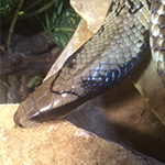 reptilia false water cobra