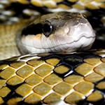reptilia feeding schedule taiwan beauty snake