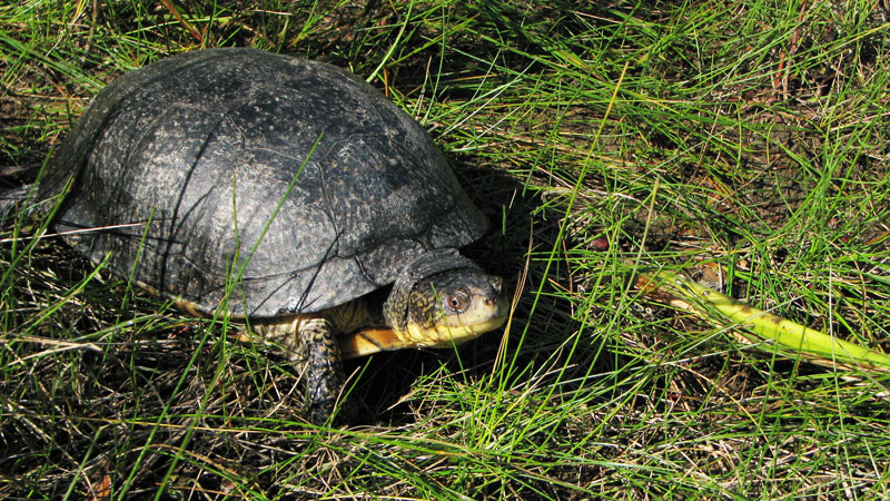 RECF Conservation turtle walking on ground