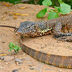 reptilia nile moniitor