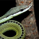 Reptilia Whitby Feeding Schedule Barons Racer