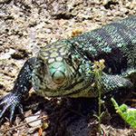 Reptilia Whitby Feeding Schedule Blue Tegu