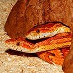Reptilia Whitby Feeding Schedule Corn Snake