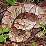 Copperhead Snake feeding at Reptilia