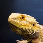 Adopt_Bearded_Dragon