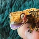 Adopt_Crested_Gecko