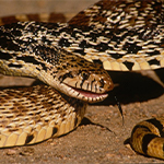 Reptilia Feeding Schedule Bull Snake