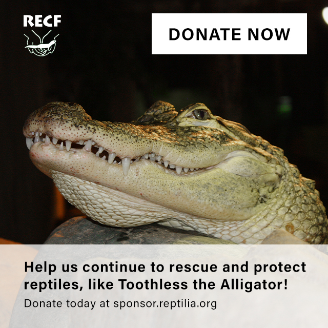 Sponsor a Reptile like Toothless the American Alligator